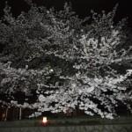 十石船からの夜桜
