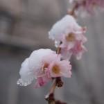 御池桜と雪