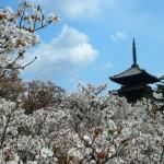 仁和寺 御室桜 4月11日