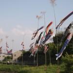 長岡京市 小泉川沿いの鯉のぼり