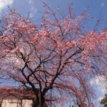 美しく咲く桜 平安女学院