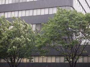 強風で揺れる街路樹