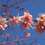 御池桜 優しいピンク色