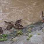 増水で避難をしている鴨