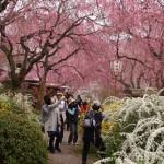 原谷苑 見渡す限りの桜