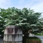 京都市美術館の前のヤマボウシ