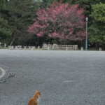 梅と猫 京都御苑