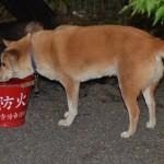 県神社の犬 ぺぺ