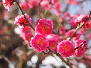 京都御苑 寒紅梅