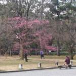 京都御苑 紅梅