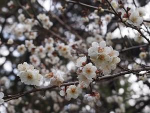 京都御苑 白梅