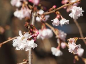 真冬に咲く御池桜