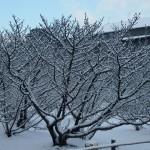 雪の御室桜