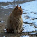 大覚寺 大沢池の猫