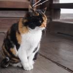とあるお寺の猫