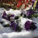 雪に覆われた花