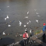 鴨川のユリカモメ