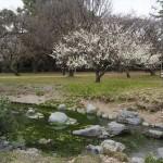 京都御苑 出水の小川の白梅