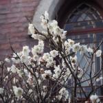 同志社大学 礼拝堂の梅