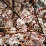御池桜 2月