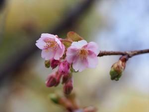 河津桜 一条戻り橋 2月10日