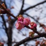東寺 河津桜 2月10日