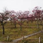 梅小路公園の梅林