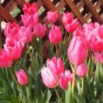 京都府立植物園 早春の草花展
