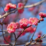 京都御苑の寒紅梅