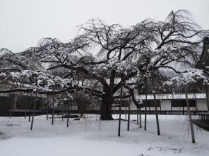 醍醐寺 醍醐深雪桜の雪