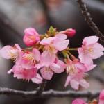 淀水路 河津桜