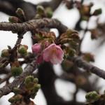 三条大橋 河津桜 2月15日