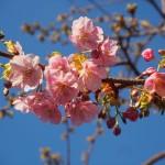 三条大橋 河津桜
