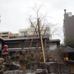 六角堂 新しい桜