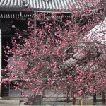 興正寺の紅梅