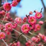 京都府立植物園 紅梅