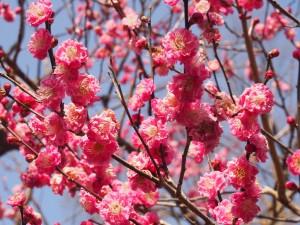 北野天満宮の梅園 早咲きの梅