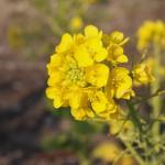 梅小路公園 菜の花