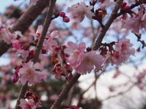 妙蓮寺 御会式桜