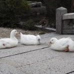 神泉苑のアヒル