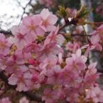 一条戻り橋 河津桜