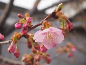 東寺 開花した河津桜 2月28日