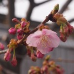 東寺 河津桜 2月28日