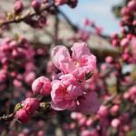 三十三間堂 桃の花