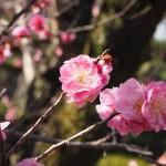 三十三間堂 梅の花