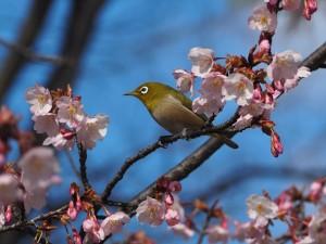 豊国神社 蜂須賀桜
