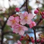 三十三間堂 河津桜