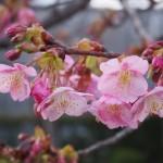 東寺 河津桜