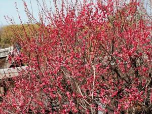 下鴨神社 光琳の梅