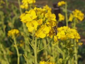 梅小路公園 菜の花とミツバチ